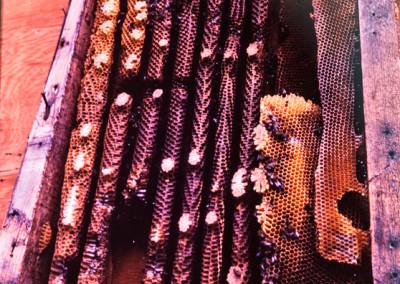 1983. Des abeilles avait aient leur ruche dans le mur de la Ruche! I On recueillit des dizaines de livres de miel!