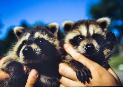 1986. Deux bébés ratons orphelins avaient été trouvés au réfectoire. Ils étaient tombés à l'intérieur d'un mur.
